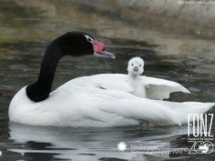 Baby Swan | Ducks and Swans Wallpaper, Free Ducks and Swans Wallpaper, Ducks and ...