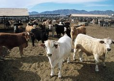 In a letter, 200 experts called on the next director-general of the World Health Organization to confront the role factory farming plays in climate change.