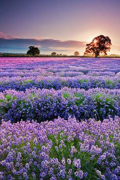 Sunset lavender fields, Provence, France