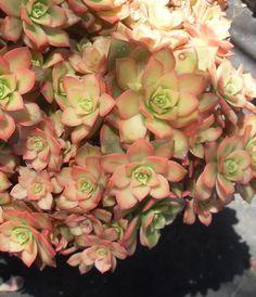 Aeonium Kiwi - California succulents Rock Garden Plants, Backyard Plants, Garden Types, Pictures Of Succulents, Cacti And Succulents, Planting Succulents, Aeonium Kiwi, Platycerium, California Garden
