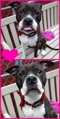 Manhattan Center HARLEY QUINN – A1060316  FEMALE, BLACK / WHITE, PIT BULL MIX, 4 yrs STRAY – EVALUATE, NO HOLD Reason STRAY Intake condition EXAM REQ Intake Date 12/12/2015 http://nycdogs.urgentpodr.org/harley-quinn-a1060316/