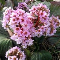 We love Bergenia cordifolia, or pigsqueak, for its tall stalks of early spring flowers and its large handsome leaves, which make it a good groundcover. Rhizome, Horticulture, Purple Flowers, Bloom, Planting Flowers, Plants, Pink Flowers, Perennials, Flowers