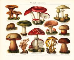1897 antique MUSHROOMS fine lithograph, edible mushrooms and poisonous mushrooms, 115 years old gorgeous print.. $24.50, via Etsy.