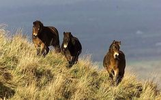 Wild ponies, South Downs National Park, East Sussex, England