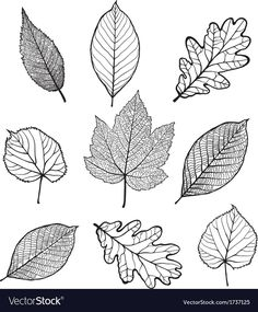 Set of Vector linden oak nut plane tree maple leaves isolated on white background Leaf Silhouette, Silhouette Vector, Tree Drawings Pencil, Art Drawings, Blatt Tattoos, Leaves Sketch, Leaves Doodle, Plane Tree, Plant Drawing