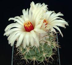 Фото: Необыкновенно красиво цветущие кактусы (Фото)