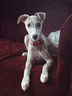 Jade, le chiot Whippet à 14 semaines