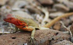 As fêmeas desta espécie de lagartos, endêmica da ilha de Galápagos, tem uma coloração avermelhada que as distingue dos machos. Onívoros, eles possuem a habilidade de regenerar o rabo (semelhante às lagartixas), do qual se desprendem para fugir de predadores.