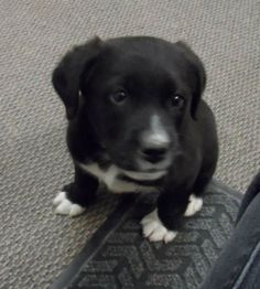Our puppy, Murphy, before we picked him up from his foster home. Thanks for taking such good care of him APLMC!