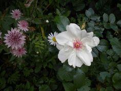 Astrantia 'Roma' with Rosa 'Jacqueline du Pre' --  a beautiful combination.