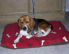 * Louie is an adoptable Beagle Dog in Prescott, AZ. Click on Petfinder.com link below for info...