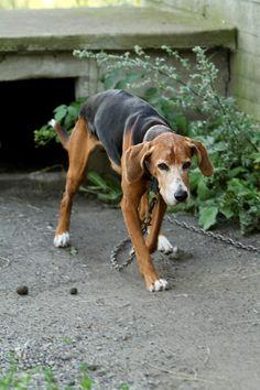 Hamiltonstövare. This cute dog looks like it needs food and unchained.