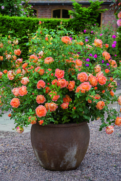 """Rose Garden British article on the best container roses. (This is the David Austin rose, 'Lady of Shalott' - """"an ideal rose for the inexperienced gardener. Container Plants, Container Gardening, Flowers In Containers, Rosas David Austin, Beautiful Roses, Beautiful Gardens, Best Roses, Pot Jardin, Growing Roses"""
