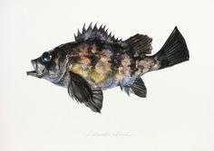 "Sebastes cheni / Japanese rockfish / ""Shiromebaru"" Yusei Nagashima, 2012 #fish #art #illustration #painting #drawing #fishart #fishillustration #fishpainting #fishdrawing #naturalart #naturalillustration #naturalpainting #naturaldrawing #watercolor #aquarium #fishing #uonofu #YuseiNaagashima"