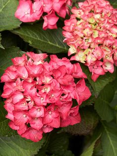 Hydrangea macrophylla 'Paris Rapa' is great for small spaces because it has upright stems and a compact habit. The long-lasting fuchsia-pink flowers fade to green. It grows 3 feet tall and 4 feet wide. Zones 5-9