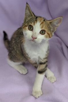 Dutchie is an adoptable domestic short hair searching for a forever family near Chilton, WI. Use Petfinder to find adoptable pets in your area. Animals Beautiful, Cute Animals, Short Hair Cats, Helping The Homeless, Pet Care, Painted Rocks, Pet Adoption, Cats And Kittens, Cute Cats