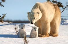 a polar bear! Wildlife photographer David Jenkins captures the tender moments between a mother polar bear and her three cubs in Wapusk National Park, Canada as they leave their den for the first time. Wildlife Photography, Animal Photography, Cute Baby Animals, Funny Animals, Wild Animals, Beautiful Creatures, Animals Beautiful, Baby Polar Bears, Baby Pandas