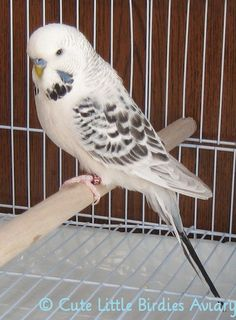 What do you call a white budgie with black markings? I think the answer is beautiful. All Birds, Cute Birds, Pretty Birds, Little Birds, Beautiful Birds, Exotic Birds, Colorful Birds, Animals And Pets, Nature