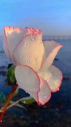 beautiful flower... ����