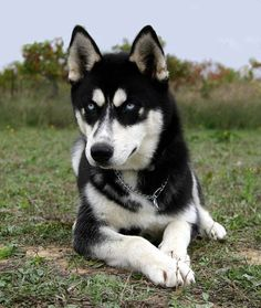 Husky's are really cool dogs, they look like wolves and they have really nice blue eyes and they are very protective