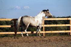 Horses for sale - Altai Horse Russia Showjumping For sale Arlekino