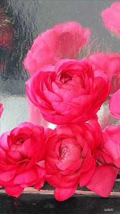️Peonies in the rain GIF