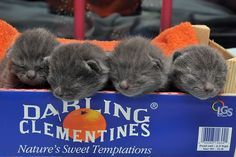 Chartreux kittens in a tangerine box. SO CUTE! Crazy Cat Lady, Crazy Cats, Chartreux Kittens, Funny Cats, Funny Animals, Animal Captions, Beautiful Kittens, Little Darlings, Cool Stuff