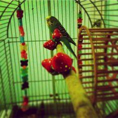 Joseph on the perch (Moroni next to her) #Budgie #Budgies #Parakeet #Parkit #SmallParrot #Budgies_Of_Ig