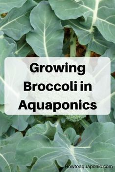 Getting started with broccoli aquaponics is quite easy. After choosing a space to grow you need to make sure you have enough nutrients available for them. Then you can start growing them. To read more about using broccoli in aquaponics, read our article. Aquaponics Greenhouse, Aquaponics Plants, Aquaponics System, Hydroponics, Indoor Aquaponics, Hydroponic Farming, Amazing Gardens, Beautiful Gardens, Growing Broccoli