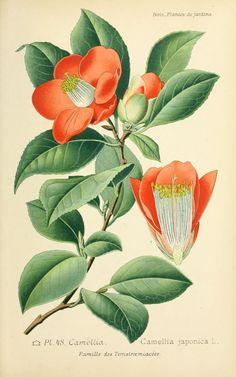 img/dessins plantes et fleurs jardins et appartements/dessin de fleur de jardin 0101 camellia - camellia japonica.jpg