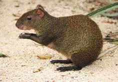 Beautiful Agouti from AKTUNCHEN PARK this mouse kind mammals are friendly  nervous living among Southeast Mexico and Central America.