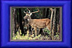 Schomburgks Deer