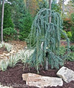 Weeping Blue Atlas Cedar with Variegated Irises along newly installed creek bed.
