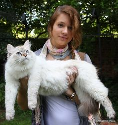 Siberian Cat.  One of the larger breeds. 22 pounds of fluff