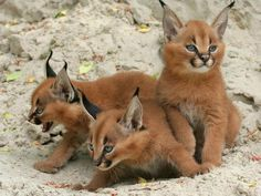 These are kittens of the caracal cat, also known as the desert lynx. They're found across Africa, central Asia and southwest Asia into India.  Check out the tuft of hair on top of their ears - as adults, it's a full 50% the length of the ear itself.