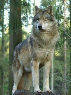 You can see the beauty in this wolf and so proud looking as well!