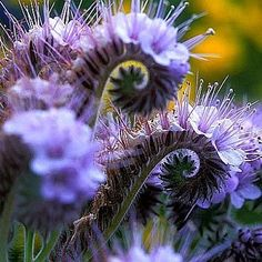 Lacy Phacelia is a charming Western wildflower that brings bees and good bugs to your garden, improves the soil, and blooms blue far as the eye can see. Twirly violet blossoms grow close to the ground