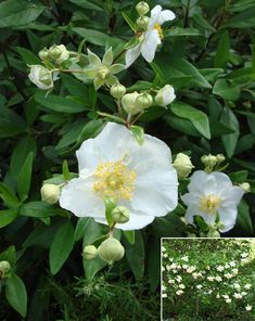 Landscape Design Guide: Over-used Landscape Plants and California Native Substitutions - Bush Anemone LandscapeResource.com