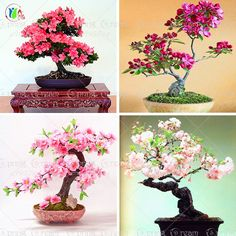 10 pz/lotto giapponese sakura semi, bonsai fiore di Ciliegio trasporto libero ornamentali-impianto