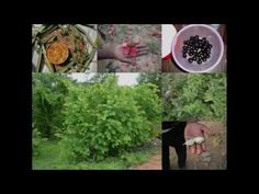 Medicinal Rice P5O Formulations for Perotis Excess: Pankaj Oudhia's Medi...