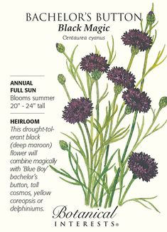 Bachelor's Button Black Magic HEIRLOOM Seeds Centaurea cyanus Height: Spread: Bloom Time: Summer Bloom Description: black or dark maroon Sun: Full Sun Water: drought tolerent Direct Sow Bachelor Button Flowers, Bachelor Buttons, House Plants For Sale, Plants For Sale Online, Planting Bulbs, Planting Flowers, The Blue Boy, Full Sun Annuals, House Plant Delivery