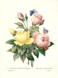 ARTEFACTS - antique images: Redoute Roses — for personal use only!