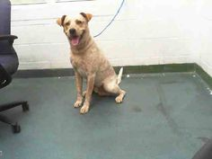 BENNIE (A1647731) I am a male dapple Labrador Retriever mix.  The shelter staff think I am about 2 years old.  I was found as a stray and I may be available for adoption on 10/02/2014. — hier: Miami Dade County Animal Services.  https://www.facebook.com/urgentdogsofmiami/photos/pb.191859757515102.-2207520000.1412279976./846091262091945/?type=3&theater