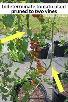 Determinate tomatoes and indeterminate tomatoes grow and set fruit differently. How you treat each type of plant will affect the quantity and quality of fruit you get. Outside Planters, Outdoor Planters, Cherry Tomato Plant, Tomato Plants, Evergreen Shrubs, Flowering Shrubs, Growing Tomatoes, Growing Vegetables, Determinate Tomatoes