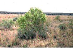 Atriplex canescens (Pursh) Nutt. fourwing saltbush - ATCA2 - Shrub