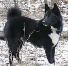 Karelian Bear Dog Rescues