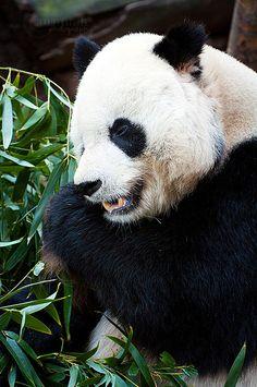 Gao Gao, Panda