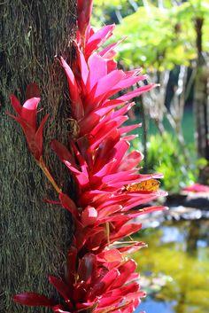 Bromeliad: Neoregelia 'Fireball' - by tanetahi