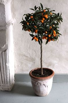 never knew a Kumquat Tree was so cute!-Makes a WONDERFUL gift for a Blessed and Prosperous New Year!I never knew a Kumquat Tree was so cute!-Makes a WONDERFUL gift for a Blessed and Prosperous New Year! Indoor Trees, Potted Trees, Potted Plants, Indoor Lemon Tree, Big Indoor Plants, Topiary Trees, Palm Trees, Kumquat Tree, Citrus Trees