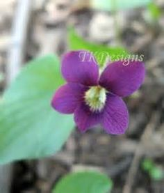 new jersey state flower - Viola sororia Viola sororia, known commonly ...